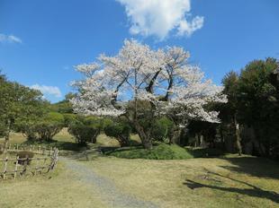 sakura-syuraku17.jpg