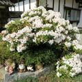 本山寺のシャクナゲの花(美咲町)