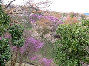 4-11-tsutsuji13.jpg