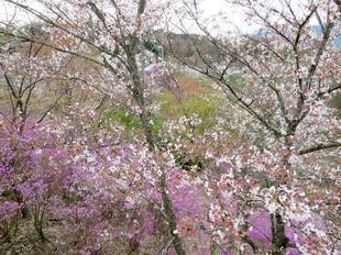 4-11-tsutsuji24.jpg