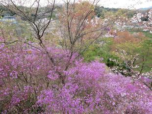 4-11-tsutsuji25.jpg