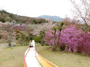 4-11-tsutsuji28.jpg