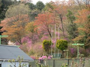 4-11-tsutsuji3.jpg
