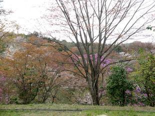 4-11-tsutsuji31.jpg