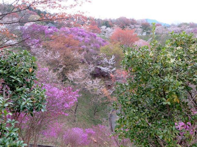 4-11-tsutsuji33.jpg