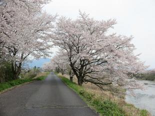 4-7kamogawa-sakura10.jpg