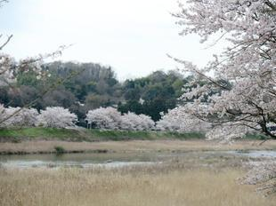 4-7kamogawa-sakura13.jpg