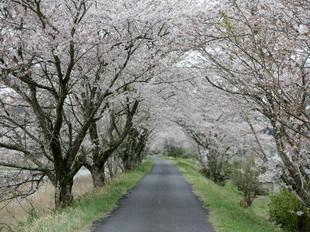 4-7kamogawa-sakura14.jpg
