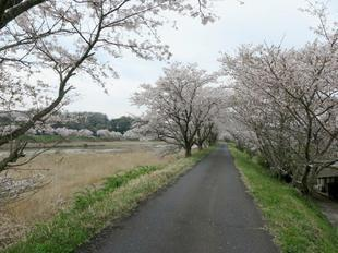 4-7kamogawa-sakura15.jpg
