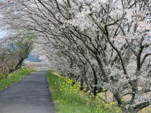 4-7kamogawa-sakura3.jpg