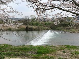 4-7kamogawa-sakura4.jpg