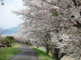4-7kamogawa-sakura7.jpg