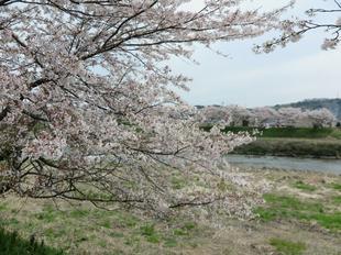 4-7kamogawa-sakura8.jpg