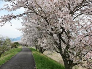4-7kamogawa-sakura9.jpg