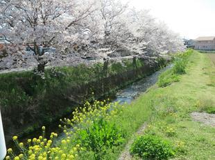 4-7takano-kawa-sakura1.jpg
