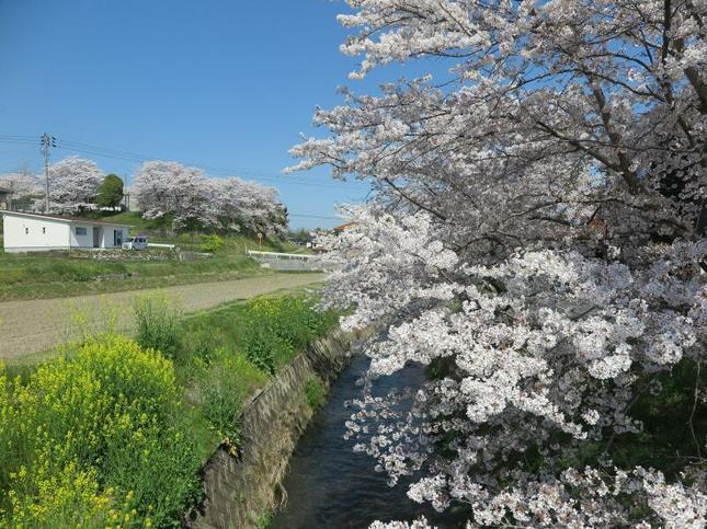 4-7takano-kawa-sakura11.jpg