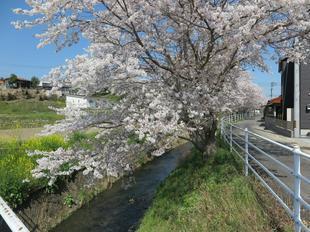 4-7takano-kawa-sakura12.jpg