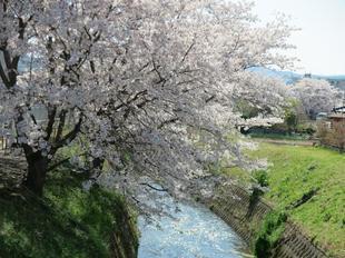 4-7takano-kawa-sakura7.jpg