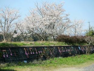 hotaru-sakura1.jpg