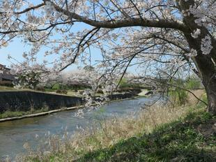 hotaru-sakura112.jpg