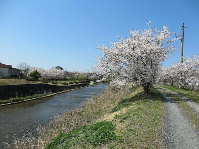 hotaru-sakura113.jpg