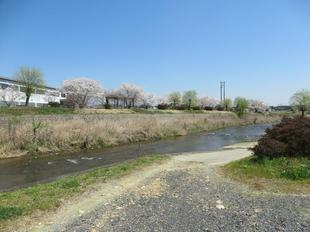 hotaru-sakura13.jpg