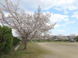 kawahigashi-sakura.jpg