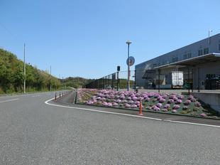 shibazakura010.jpg