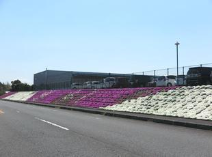 shibazakura011.jpg