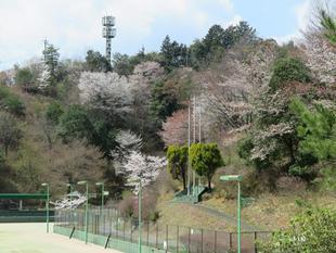 syoboku-sakura21.jpg