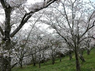 syoboku-sakura4.jpg