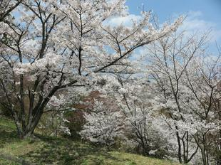 syoboku-sakura5.jpg