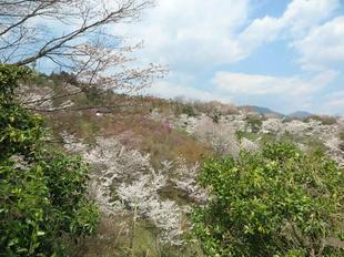 syoboku-sakura6.jpg