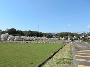takano-sakura11.jpg