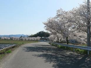takano-sakura2.jpg