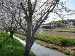 takano-sakura3.jpg