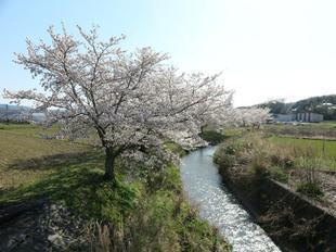takano-sakura6.jpg