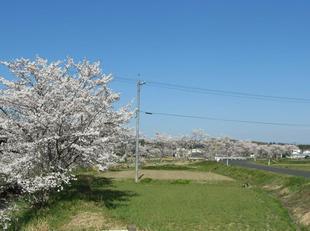 takano-sakura7.jpg