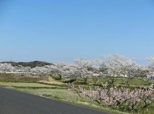 takano-sakura8.jpg