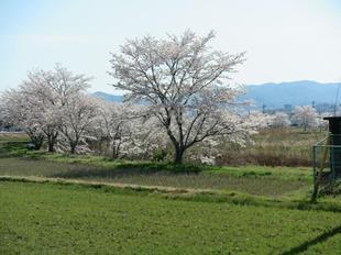 takano-sakura9.jpg
