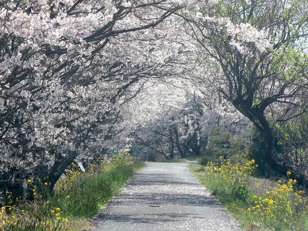 加茂川沿いのさくらの花