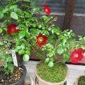 「旅館  お多福」5月の花たち