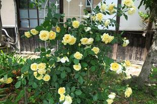 yoshimura-5-27-43.jpg