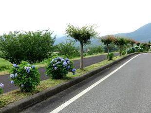 hiruzen-ajisai17.jpg