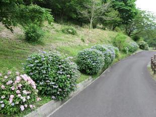 nagi-ajisai6.jpg