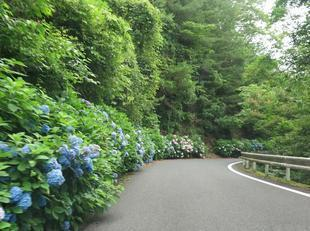 oyama-ajisai23.jpg