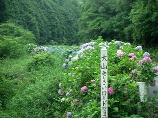 oyama-ajisai29.jpg