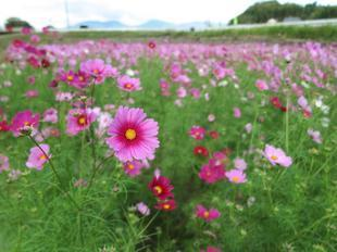 tanokuma-kosumosu1.jpg