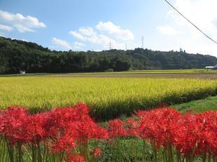 tanokuma-kosumosu11.jpg