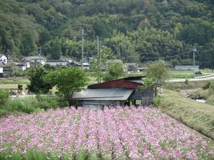 tanokuma-kosumosu17.jpg